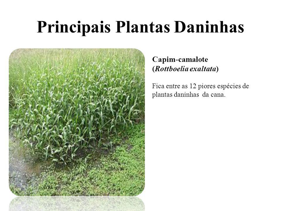 Principais Plantas Daninhas Capim-camalote (Rottboelia exaltata) Fica entre as 12 piores espécies de plantas daninhas da cana.