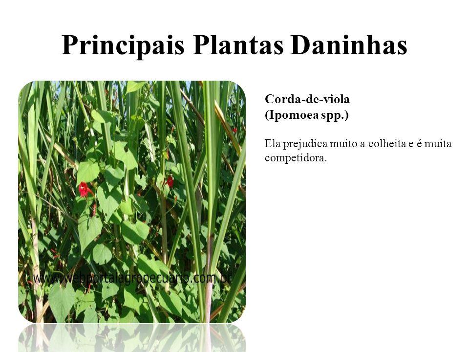 Principais Plantas Daninhas Corda-de-viola (Ipomoea spp.) Ela prejudica muito a colheita e é muita competidora.