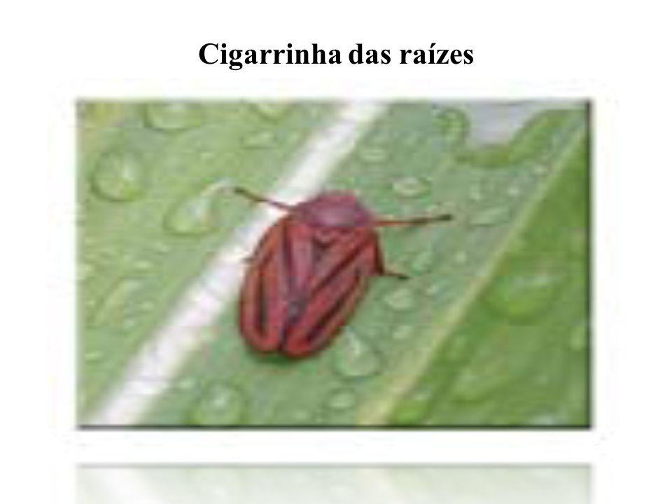 Cigarrinha das raízes