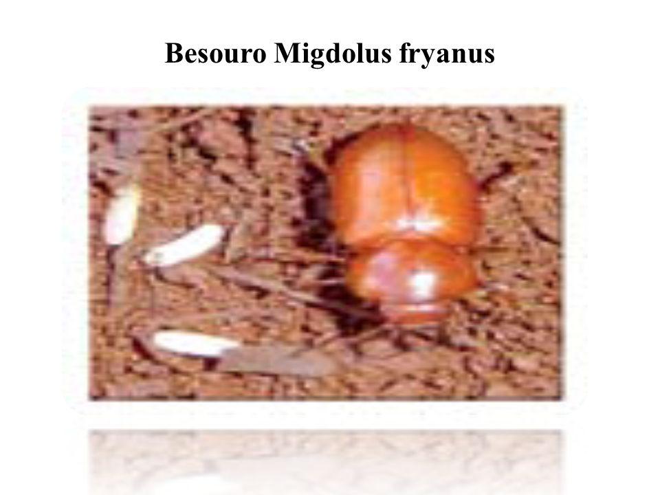 Besouro Migdolus fryanus