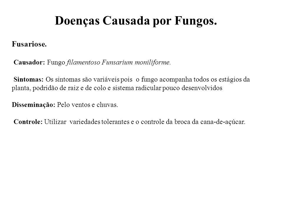 Doenças Causada por Fungos.Fusariose. Causador: Fungo filamentoso Funsarium moniliforme.