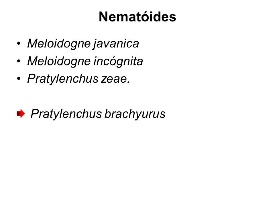 Nematóides Meloidogne javanica Meloidogne incógnita Pratylenchus zeae. Pratylenchus brachyurus