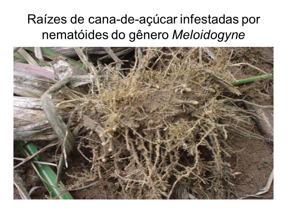 Raízes de cana-de-açúcar infestadas por nematóides do gênero Meloidogyne