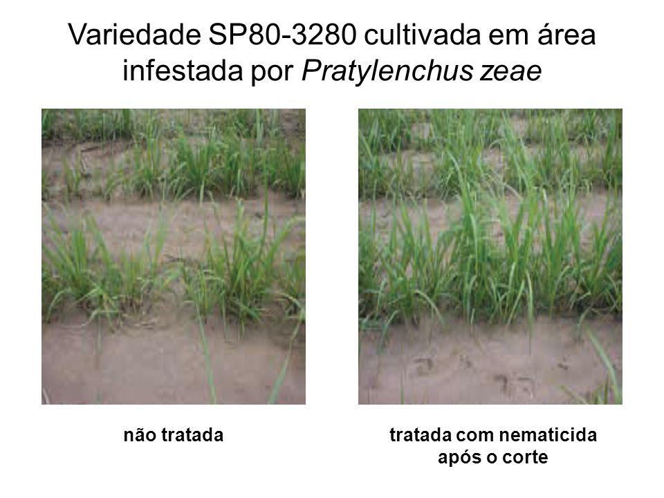 Variedade SP80-3280 cultivada em área infestada por Pratylenchus zeae não tratadatratada com nematicida após o corte