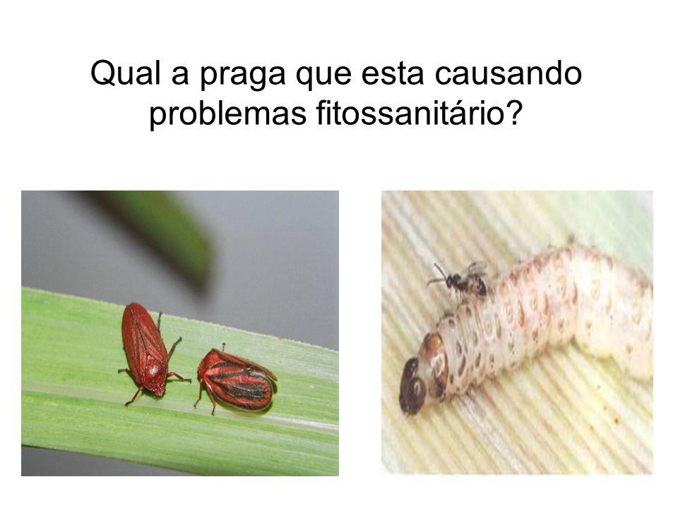 Qual a praga que esta causando problemas fitossanitário?