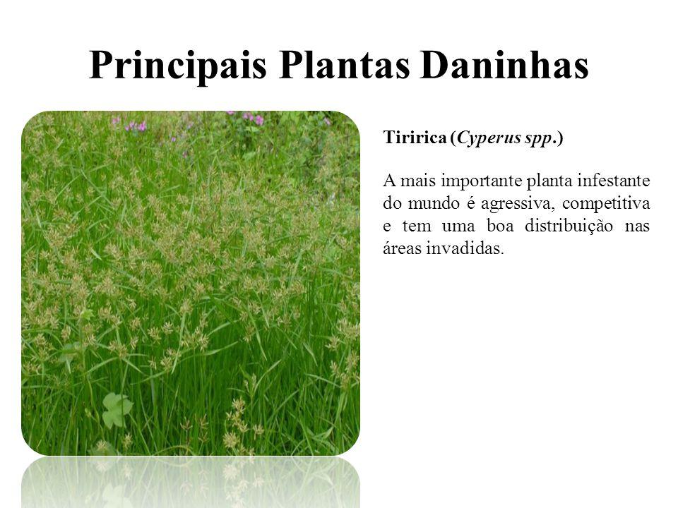 Principais Plantas Daninhas Tiririca (Cyperus spp.) A mais importante planta infestante do mundo é agressiva, competitiva e tem uma boa distribuição nas áreas invadidas.
