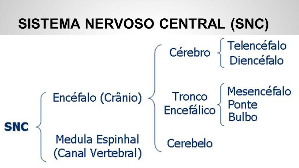 Um diagrama mostrando o SNC: 1.Cérebro 2. Sistema nervoso central (cérebro e medula espinhal) 3.