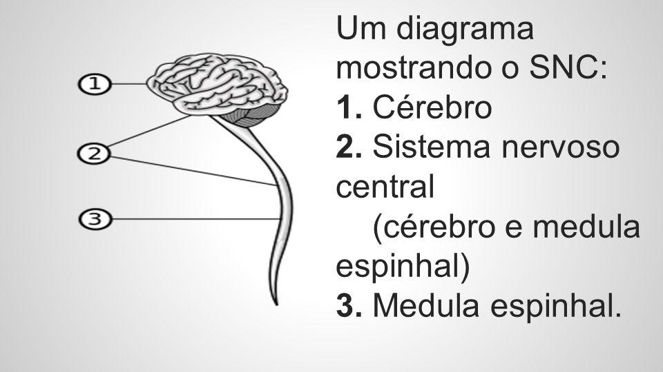 Um diagrama mostrando o SNC: 1. Cérebro 2. Sistema nervoso central (cérebro e medula espinhal) 3. Medula espinhal.