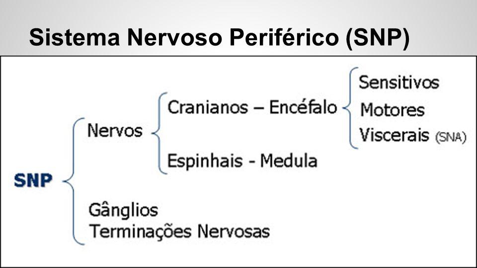 Sistema Nervoso Periférico (SNP)