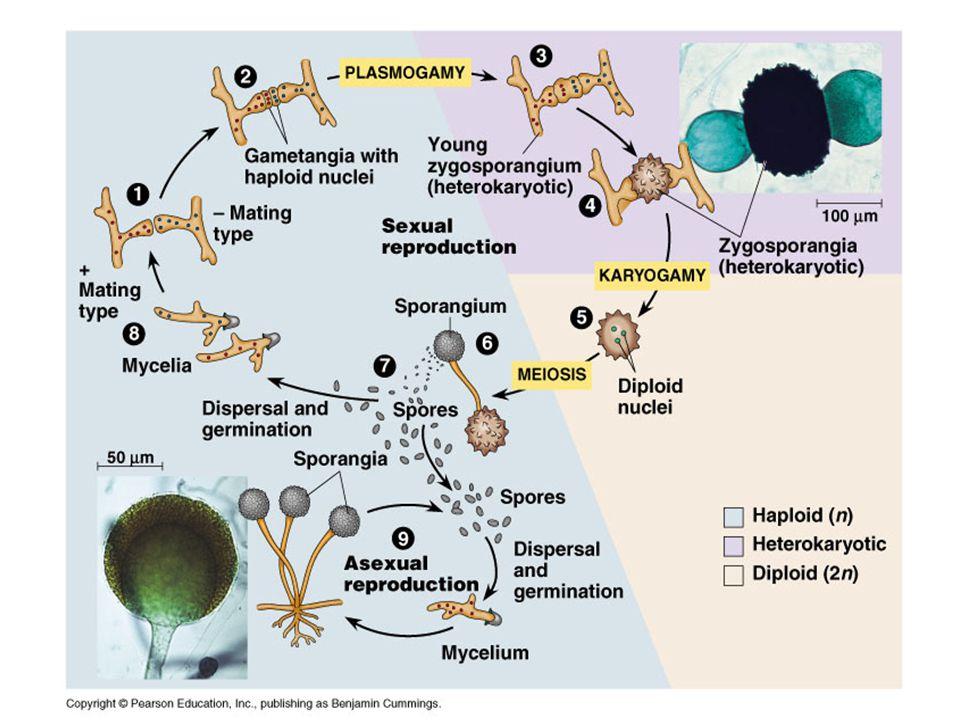 Morfologia de basidiomycota asexual reproduction